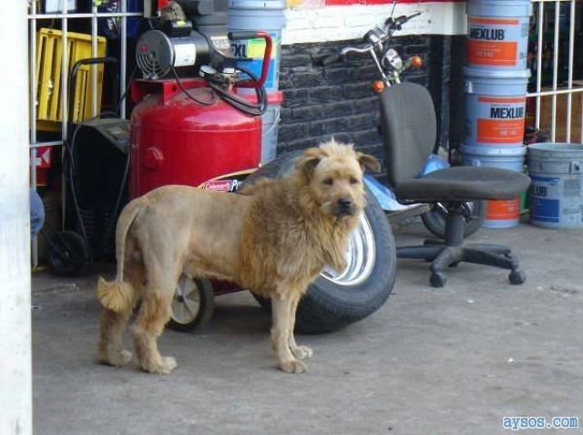 Funny lion or a dog picture